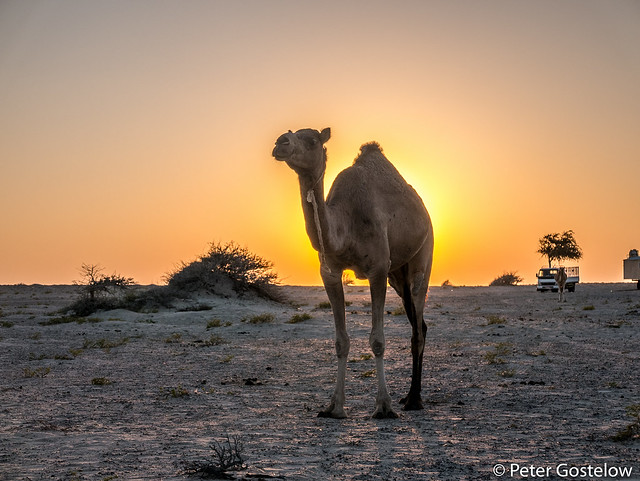 Desert camel at sunset