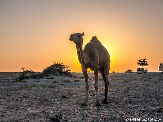 Desert camel at sunset