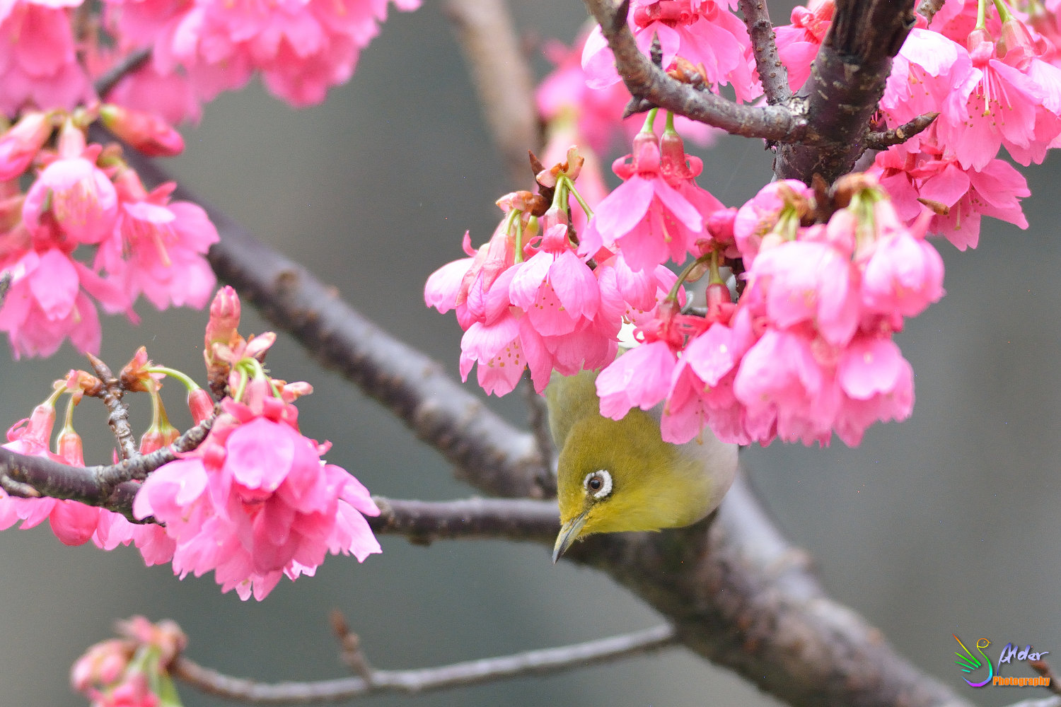 Sakura_White-eye_5880