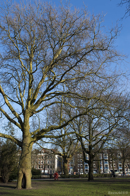 Big Tree Frederiks Plantsoen