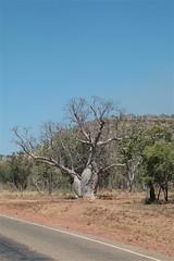 boab tree along the road