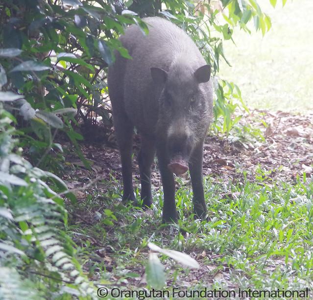 12 - Bearded Pig (Sus barbatus)_wm