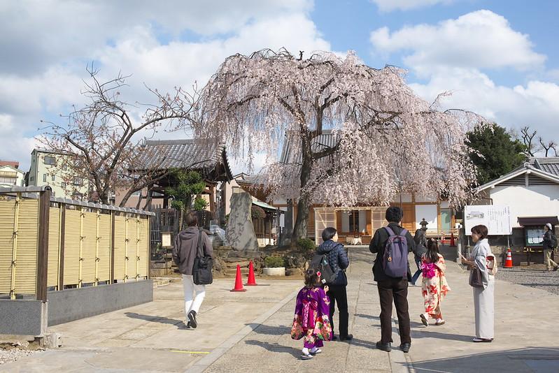 東京路地裏散歩 谷中の枝垂れ桜 2016年3月27日