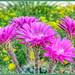 Small photo of Echinopsis hybrid 'Sorceress'