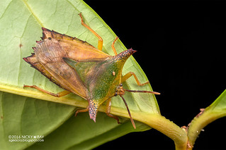 Giant shield bug (Pygoplatys sp.) - DSC_7575