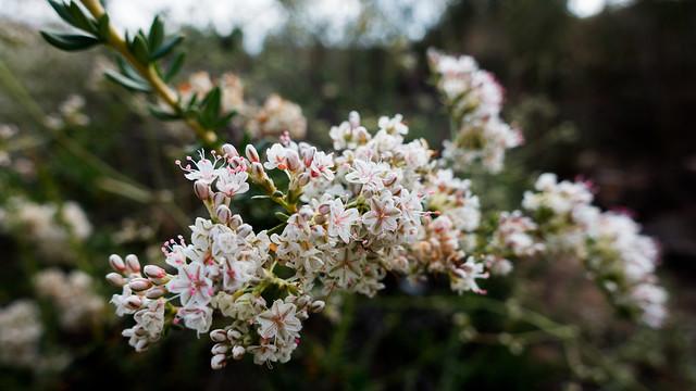 California buckwheat (Eriogonum fasciculatum v. fasciculatum)