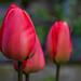 Tulips flowering