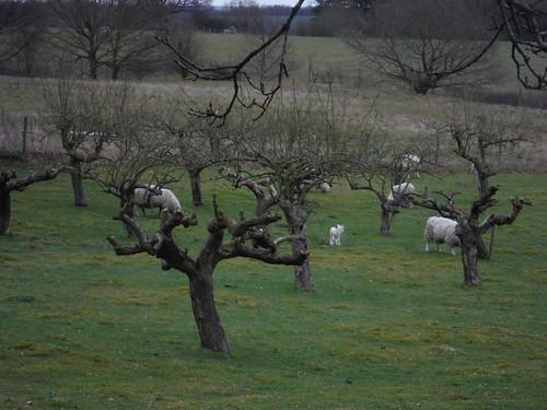Sheep in Orchard, Kiln Lane, Clophill