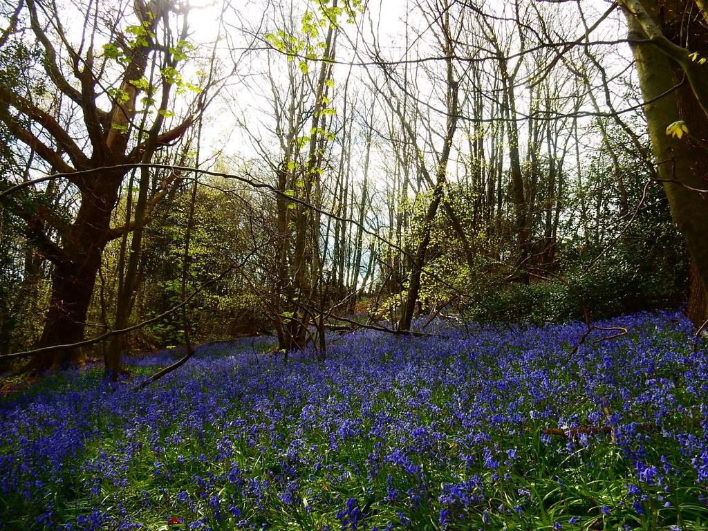Bluebells Sevenoaks to Westerham Ide Hill
