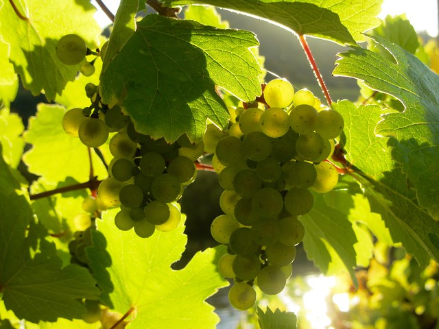 Grapes along the Mosel