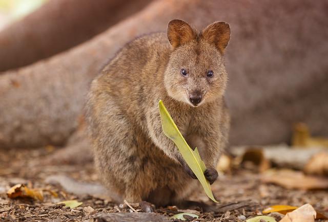 Endangered Quokka in the wild, Rottnest Island, Western Australia
