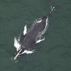 A Right Whale on the Move
