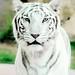 x white tiger by yasserkhamis