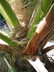 starr-091104-9215-Pritchardia_arecina-frond_stems-Kahanu_Gardens_NTBG_Kaeleku_Hana-Maui