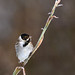 Reed Bunting 16/366 Challenge by After-the-Rain