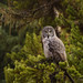 Great Gray Owl by Happy Photographer