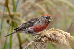 Common redpoll Male feeding on seeds (New Zealand)