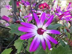 Magenta Bi-color Senetti