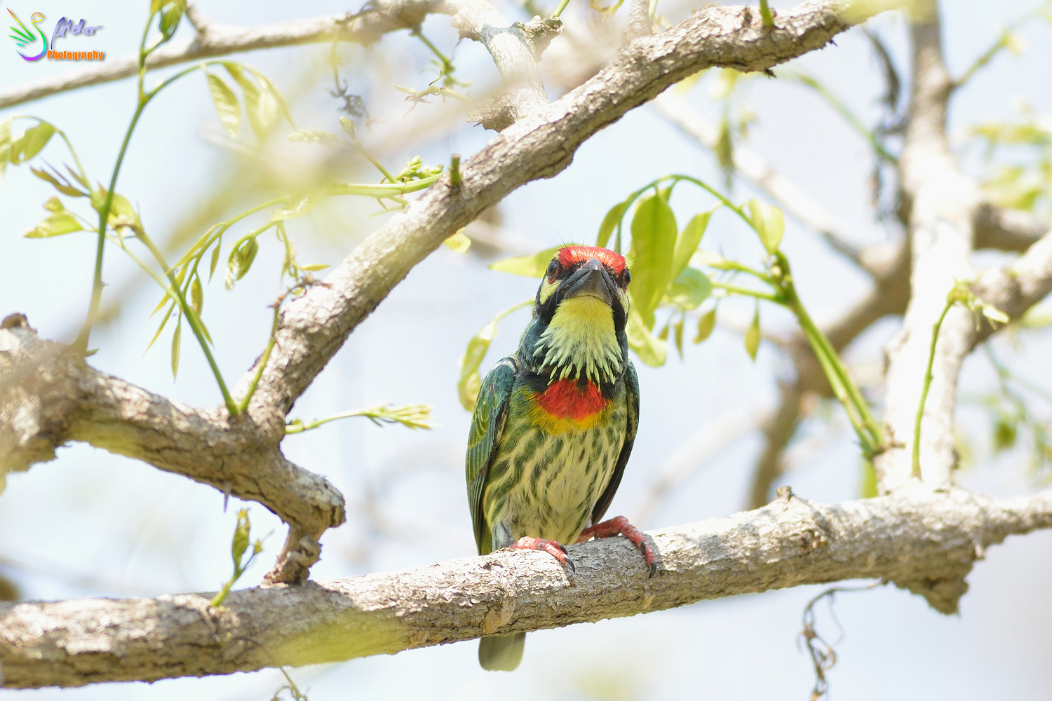 Coppersmith_Barbet_3101
