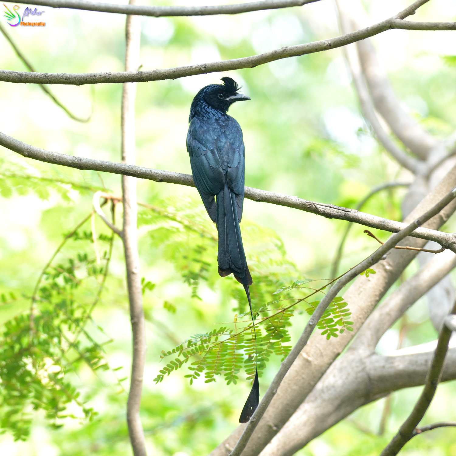 Greater_Racket-tailed_Drongo_1258