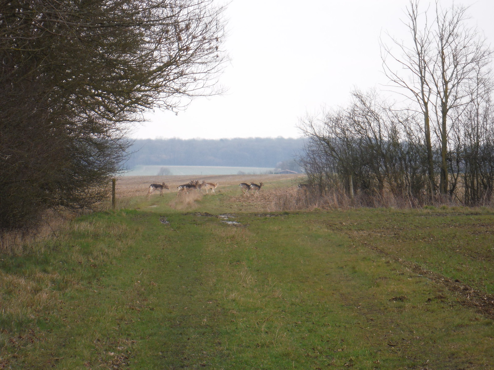 Deer en route to Chiswick Hall SWC Walk 116 Wendens Ambo [Audley End station] Circular (Extension)