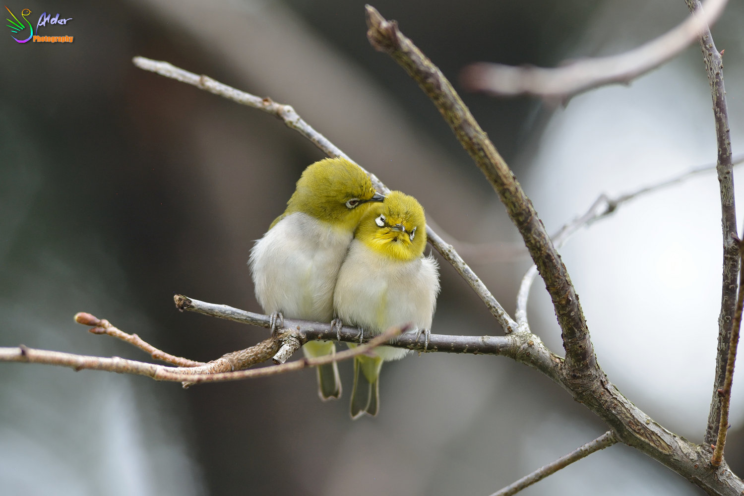 Sakura_White-eye_4758