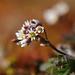 Erophila verna - Drave printanière by Ruddy CORS