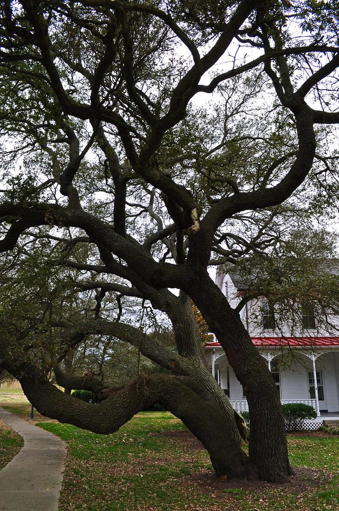 Fort Monroe, Live Oak (Quercus virginiana) (8)