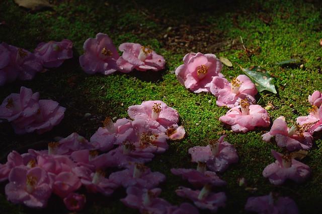 ツバキ Camellia -ミナトノハナ(港の華) (2)
