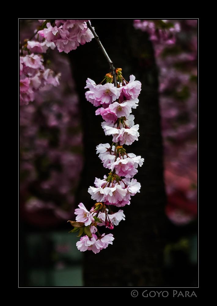 Japansk stamning i Kungsträdgården