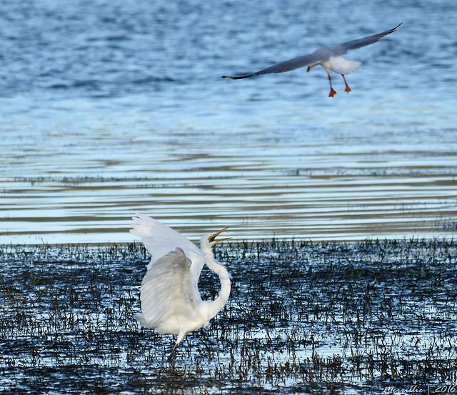 Silvergull annoying an Eastern Great Egret