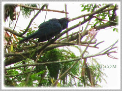 Eudynamys scolopaceus (Asian Koel), seen at our neighbourhood, Feb 5 2016