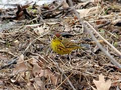 palm warbler on ground