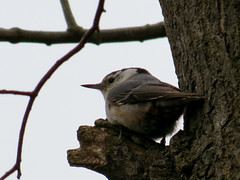 nuthatch ledge
