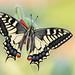 Papilio machaon by Raffaella Coreggioli ( fioregiallo)