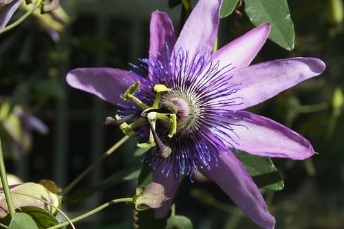 Passiflora x violacea