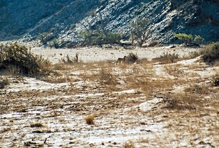 Gepard im Aba-Huab Gebiet, Damarland