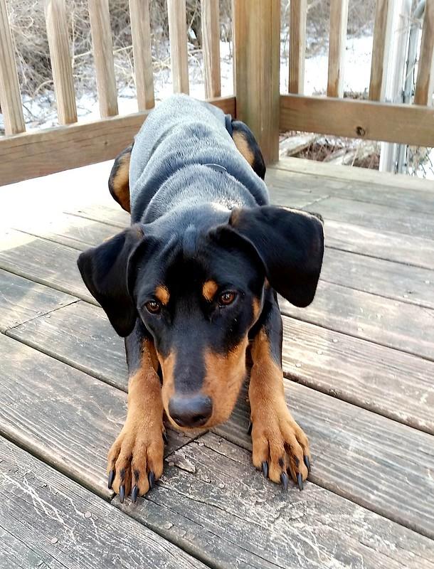 11 month old Doberman puppy mix #rescuedog #adoptdontshop #Doberman #cutepuppy #LapdogCreations