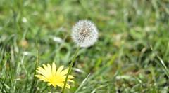 Dandelion seedpod Burl 3-26-15 1