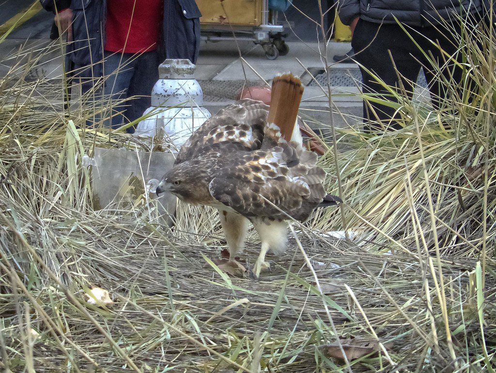 Injured red-tailed hawk on the Lower East Side