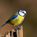 Blue Tit   by Chris Nickerson