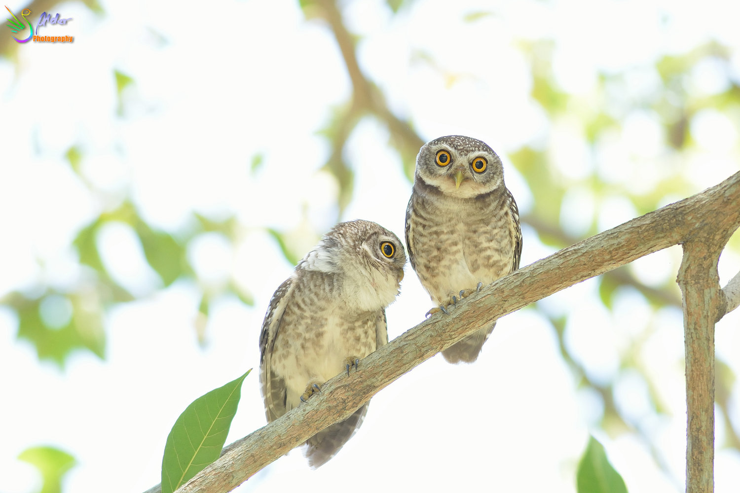 Spotted_Owlet_2816
