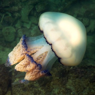 Barrel jellyfish (Rhizostoma pulmo)