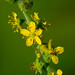 Small photo of Downy Agrimony (Agrimonia pubescens)