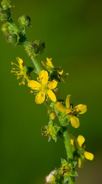 Header of Agrimonia pubescens