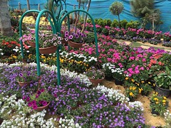 And #spring is here in #Giza , the annual #spring #flowers show in Orman garden #ThisisEgypt #ThisisGiza #blogger #citizenjounalism