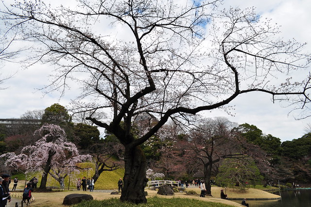 Photo:枝垂れ桜 By yuki_alm_misa