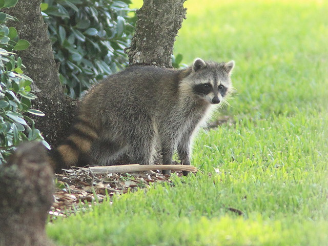 Raccoon straggler crossing Pines 20160402