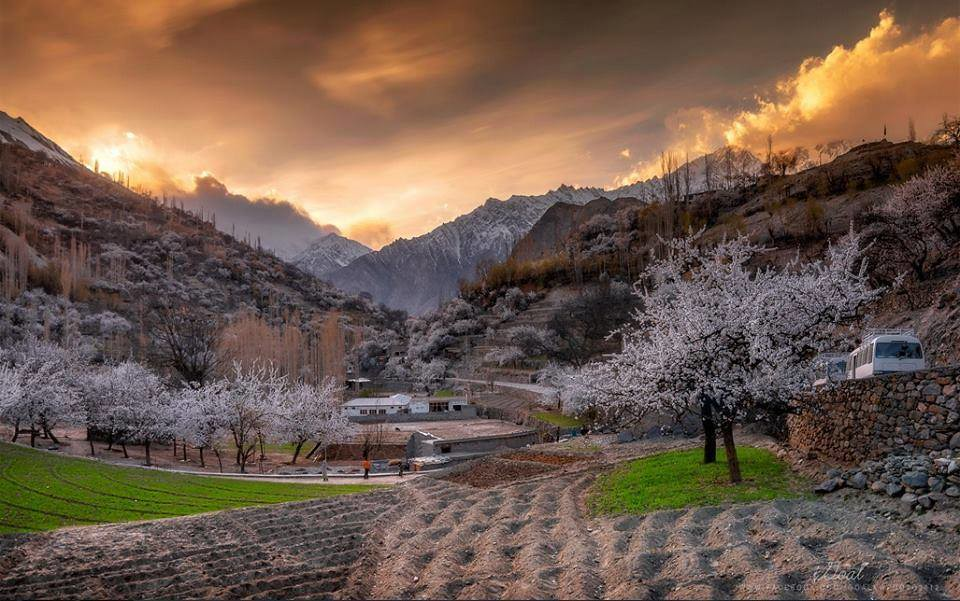 Spring Blossom At Nagar Valley