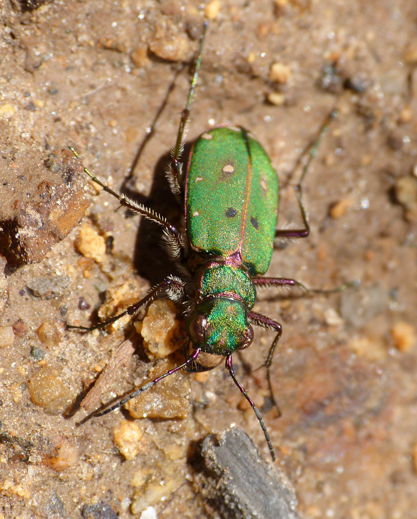 Green Tiger Beetle FtHom 31Mar16